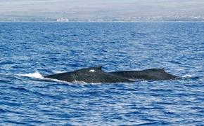 Humpback whales off of the coast of the Big Island of Hawaii