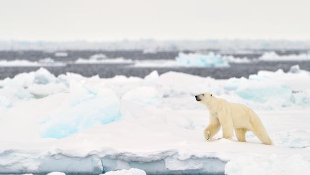 Polar bear in the Canadian Arctic