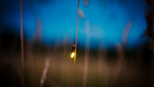 firefly, night, bug