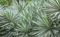 Agave americana in nature background