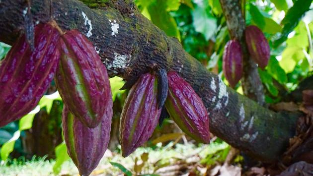 Cocoa Pods on Anse Chastanet Resort's Emerald Farm.