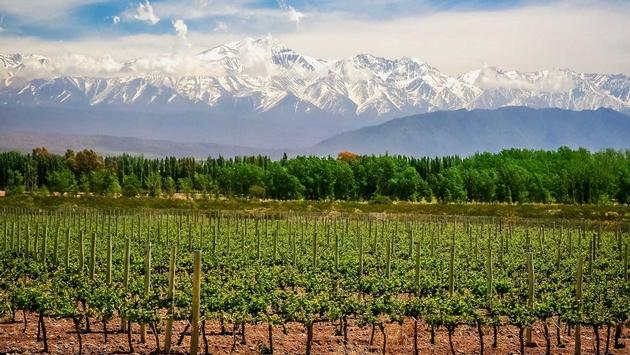 A vineyard in Mendoza, Argentina