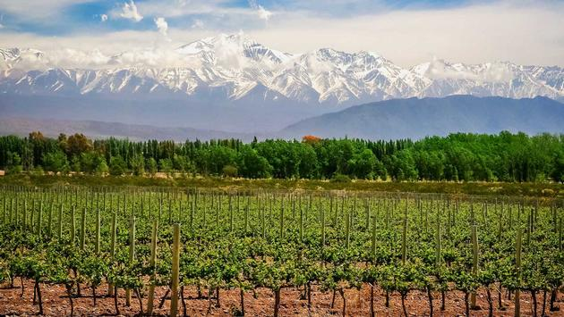 A vineyard in Mendoza, Argentina