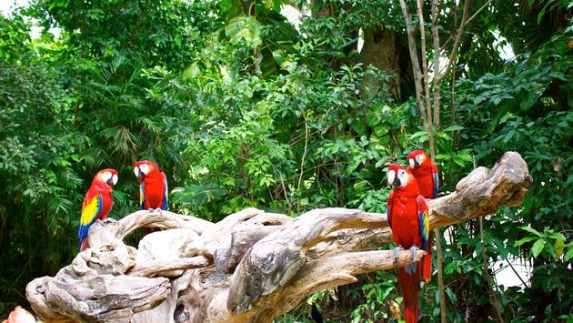 Macaws at Xcaret
