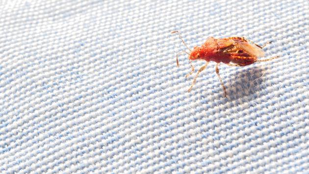 Bed bug on a blanket