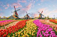 Traditional windmills and tulip garden in the Netherlands.