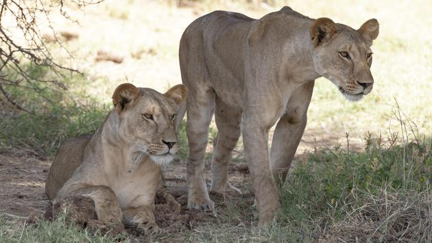 Two female lions at an African game reserve