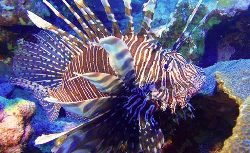 Lionfish at Marigot Bay
