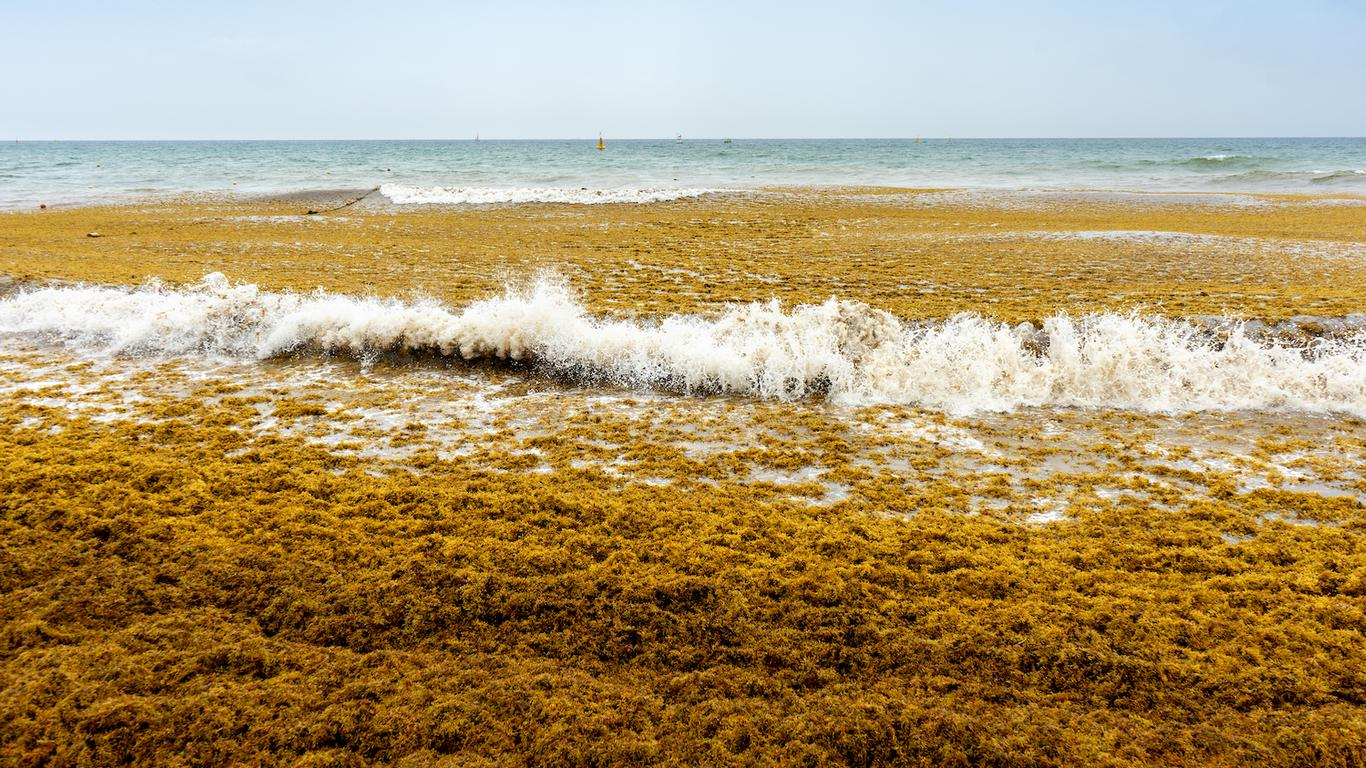 Experts Expecting Less Sargassum to Reach Mexico's Beaches in 2020