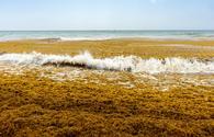 Sargassum Algae Washes Up on a Mexican Beach