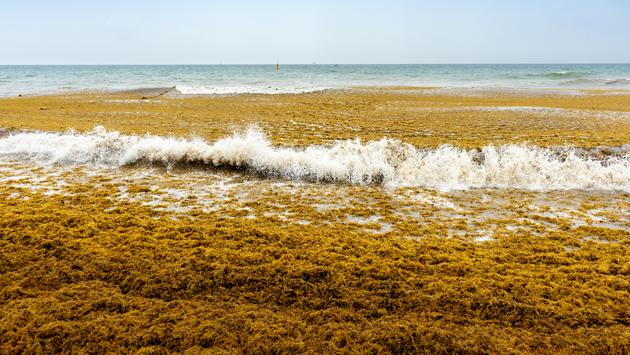 Sargassum Algae Washes Up on a Mexican Beach