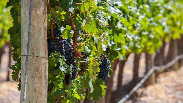 A close up of a grapevine in Stellenbosch, South Africa.