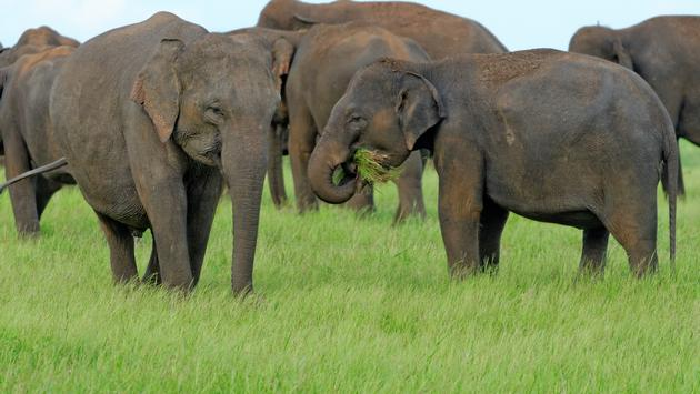 Wild elephant herds grazing in the wild in a national park in Sri Lanka