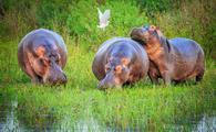 Bloat of hippos