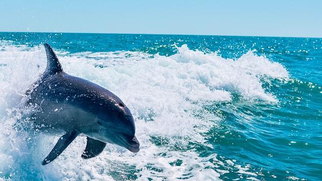 dolphin, ocean, Sanibel, Captiva