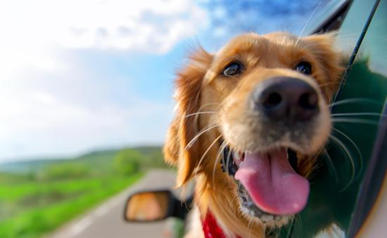 Golden retriever looking out of the car window