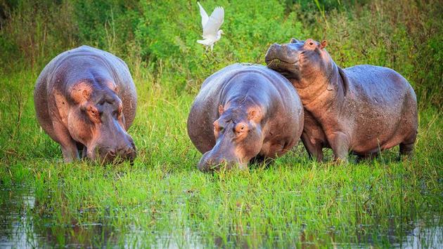Bloat of hippos