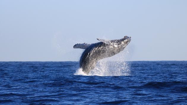 whale, whale breach, sea, ocean