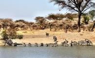 zebras, safari, serengeti, tour