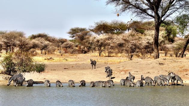 zebras, safari, serengeti, tour