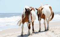 Horses, Assateague Island, Maryland