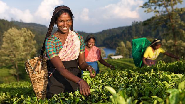 Tamil women picking Ceylon tea leaves on a plantation in Sri Lanka.