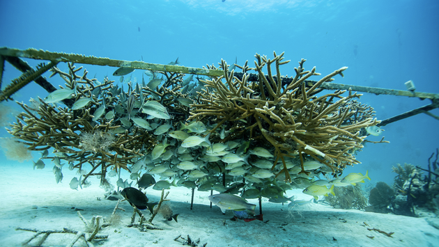 A growing coral reef, part of Iberostar's Protecting and Restoring the Mesoamerican Reef Project