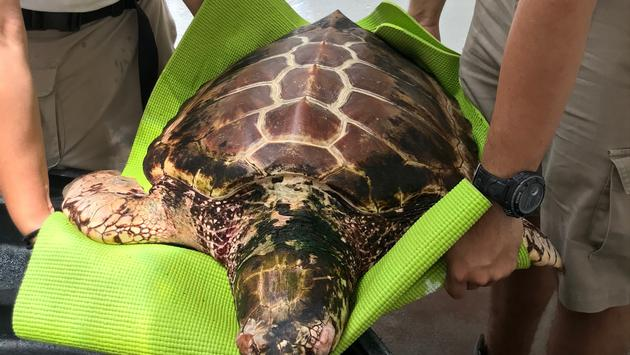 Rescued Loggerhead Turtle, Xcaret Park Turtle Hospital