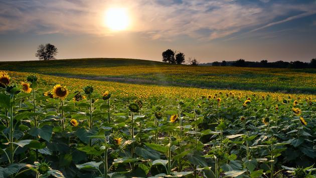 A Kansas sunflower field at sunset.