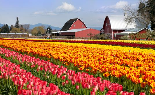 Skagit Valley, Washington, tulips, flowers