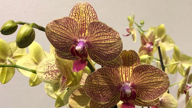 Cleveland Botanical Garden's Orchid Mania