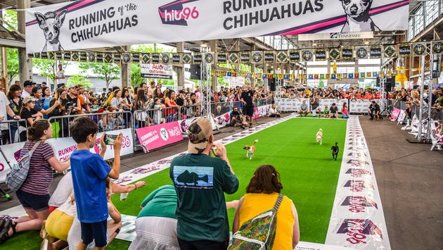 Running of the Chihuahuas