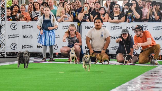 Running of the Chihuahuas
