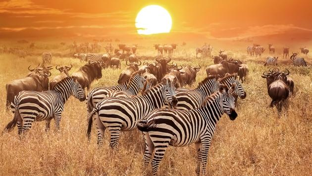 Zebra at sunset in the Serengeti National Park, Tanzania, Africa