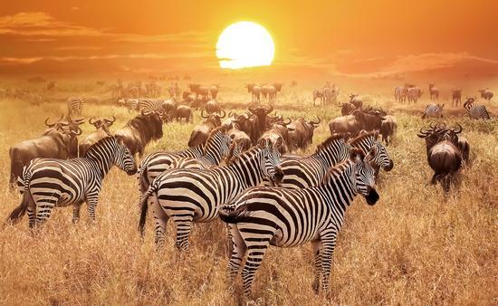 Zebra at sunset in the Serengeti National Park, Tanzania, Africa