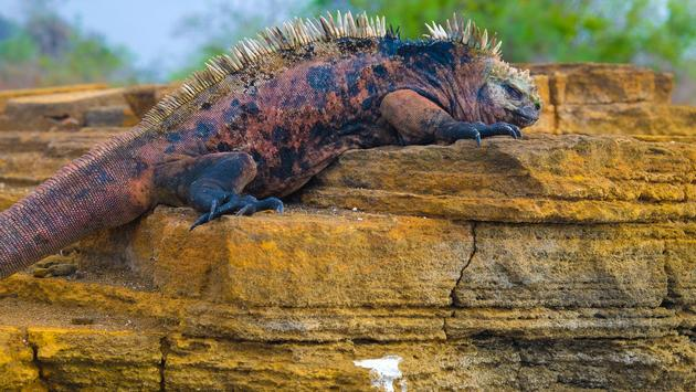 Iguanas found on the Galapagos Northern and Central Isles