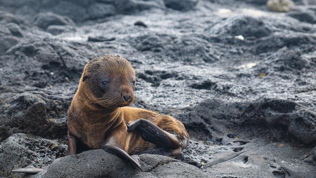 Baby sea lion on Santiago Island, Galapagos