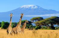Three giraffe in National park of Kenya, Africa