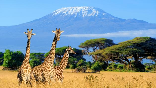 Three giraffe in National park of Kenya, Africa