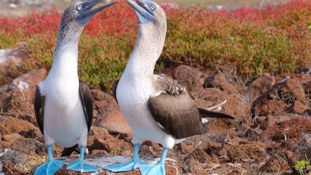 Mating Boobies. North Seymour Island, Galapagos
