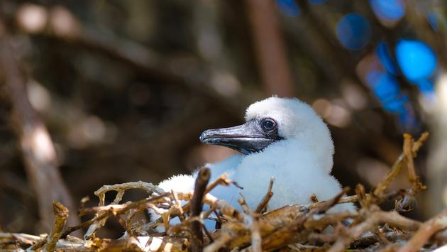 Baby Booby in Nest. Genovesa Island, Galapagos