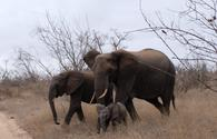 Elephants near Kambaku  River Sands in South Africa