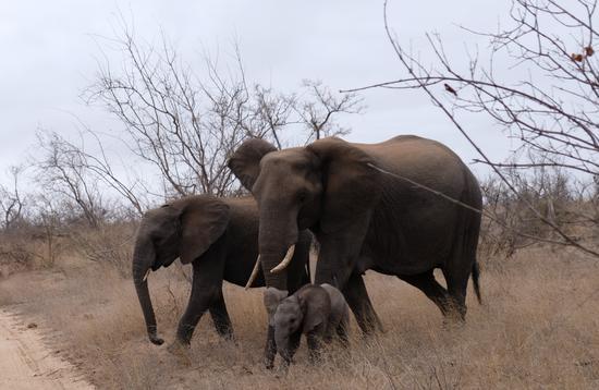 Elephants near Kambaku  River Sands in South Africa