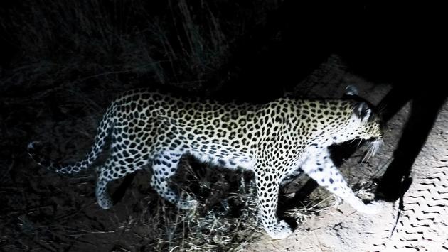 Leopard near Kambaku River Sands in South Africa