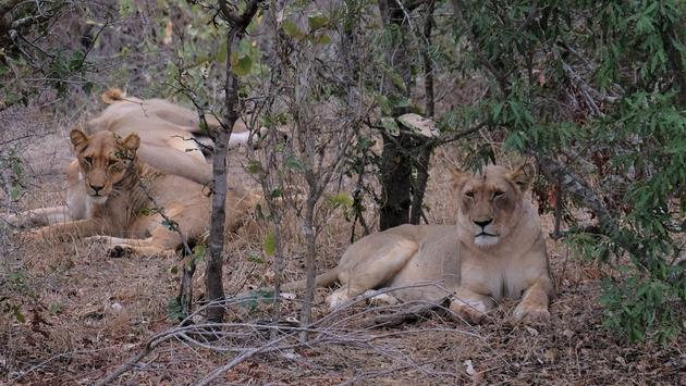 A pride of lions near Kambaku River Sands lodge in South Africa