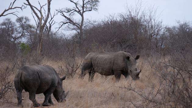 Rhinos near Kambaku River Sands lodge, South Africa