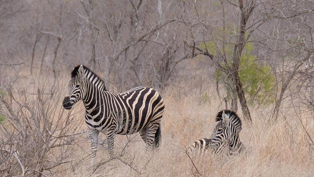 Zebras Near  Kambaku River Sands, South Africa