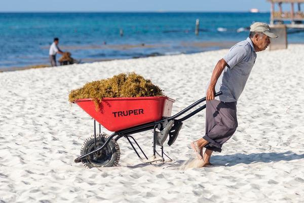 Sargassum Situation Spurs State of Emergency in Quintana Roo