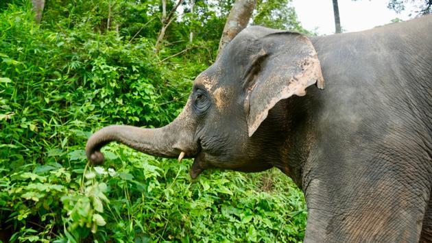 Elephant in Thailand