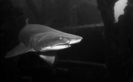 A sand tiger shark swims inside a shipwreck off of North Carolina